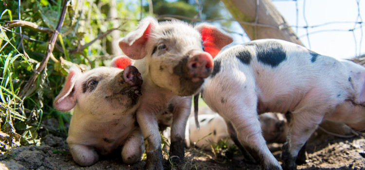 Cornwall's top pork producer reaches for the stars!